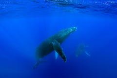 Balena di Humpback Fotografie Stock
