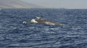 Balena di Humpback Immagine Stock Libera da Diritti