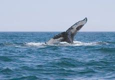Balena di Humpback fotografia stock libera da diritti