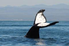 Balena di Humpback Immagine Stock