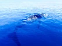 Balena di humpback sommersa nell'oceano blu profondo Immagine Stock Libera da Diritti