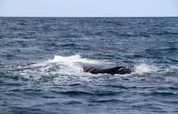 Balena giusta nell'Oceano Atlantico. Fotografia Stock
