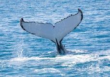Balena Hervey Bay Australia Fotografia Stock