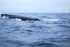Balena Humpbacked Immagine Stock Libera da Diritti