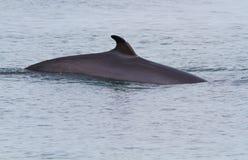 Balena Minke Immagini Stock Libere da Diritti