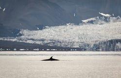 Balena Minke, balaenoptera acutorostrata, con un ghiacciaio nei precedenti Isfjorden, le Svalbard Fotografia Stock Libera da Diritti