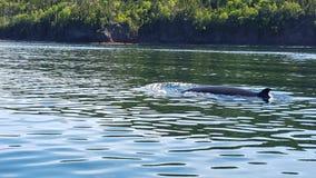 Balena Minke in Terranova, Canada Fotografie Stock