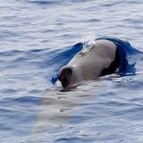 Balena pilota Fotografia Stock
