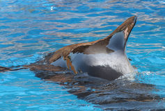 Balena pilota Immagini Stock