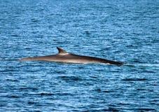 Balena posteriore dell'aletta Fotografie Stock