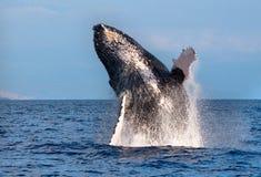 Balena posteriore della gobba Fotografie Stock Libere da Diritti