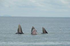 Balena tripla Fotografia Stock Libera da Diritti
