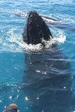 Balene Fotografia Stock Libera da Diritti
