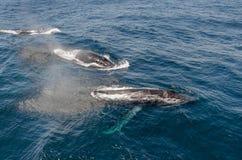 balene fotografie stock libere da diritti