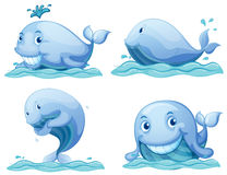 Balene blu Immagine Stock