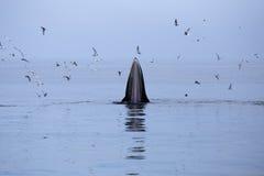 Balene (brydei del Balaenoptera) che mangiano il pesce dell'acciuga Immagini Stock