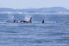 Balene dell'orca Immagini Stock