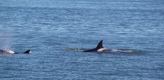 Balene dell'orca presso il San Juan Islands che dà caccia Fotografie Stock