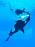 Balene di assassino Fotografie Stock