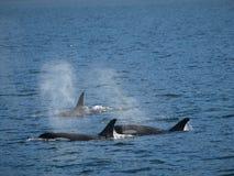Balene di assassino. fotografie stock