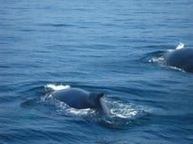 Balene di Humpback Immagini Stock