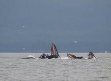 Balene di Humpback Immagini Stock Libere da Diritti