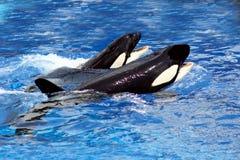 Balene di nuoto fotografie stock libere da diritti