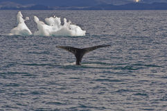 Balene, uccelli ed iceberg Immagine Stock