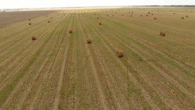 Baler av hö i fältet Plockninghö för boskapmatning Landskapfält med hö stock video