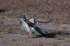 Balerina gołębia lądowanie Zdjęcie Royalty Free