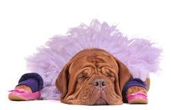 balerinehund royaltyfri bild