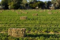 Bales сена альфальфы в поле стоковое фото rf