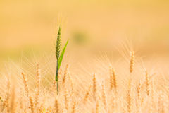 Bales in field landscape,soft focus. Golden Bales in field landscape Stock Photos
