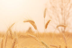 Bales in field landscape,soft focus Stock Image