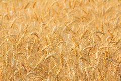 Bales in field,soft focus. Bales in field landscape,soft focus Royalty Free Stock Image