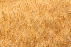 Bales in field,soft focus. Bales in field landscape,soft focus Stock Image