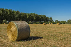 Bales of hay. In the field as soon as threshed Royalty Free Stock Photos