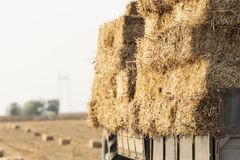 Bales straw in a trailer stock photo