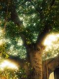Balete树 库存照片