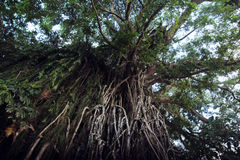 Balete Strangling Fig Tree. One of the largest balete (strangling fig) trees in the Philippines found in Baler, Aurora Province royalty free stock photos