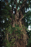 Balete Strangling Fig Tree. One of the largest balete (strangling fig) trees in the Philippines found in Baler, Aurora Province stock image