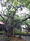 Balete tree stock image