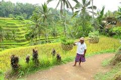 Bali: Agricoltore Immagine Stock