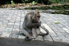 Bali apa som ?ter dess egen svans royaltyfri foto