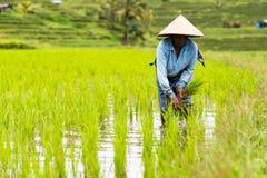 Bali bönder planterar ris i risfältfältet Arkivfoto