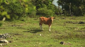 Bali banteng cow standin on meadow in front of trees. Slide stock video footage