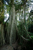 Bali Banyan Tree in tropical forest Stock Image