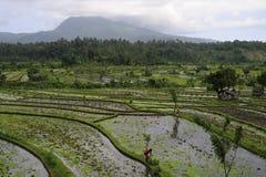 Bali - campo del arroz Imágenes de archivo libres de regalías
