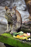Bali Cat Royalty Free Stock Images