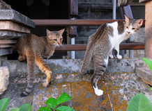 Bali cats Stock Photography
